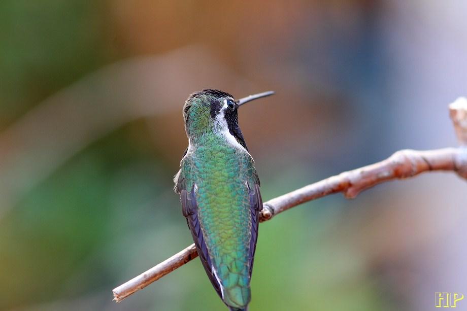 Costa's X Anna's Hummingbird 102212