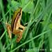 李佳翰_臺北赤蛙出現在植物根部