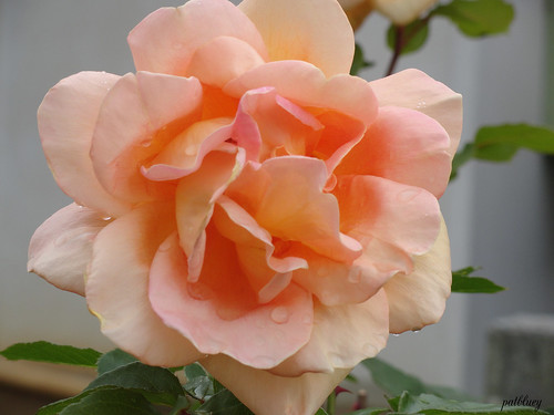 An orange pink rose and water drops.