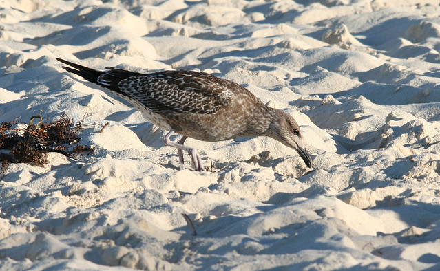 lesser black backed gull 1st winter 01