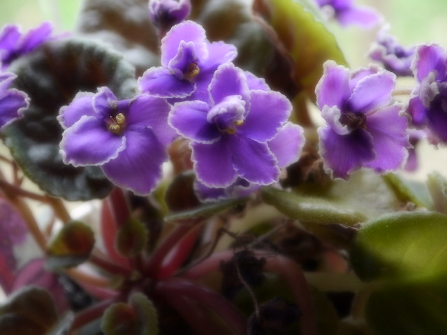 African Violet from a friend