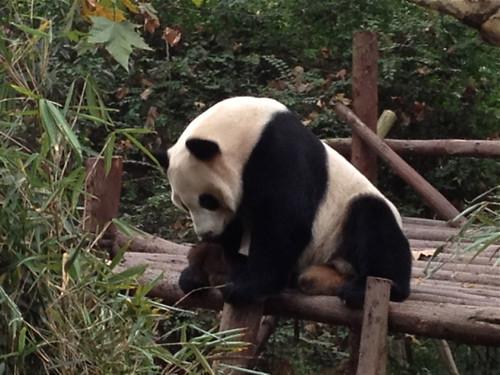 Giant Panda, Chengdu 2