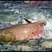 American River spawning season by Dustin Penman