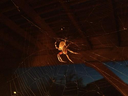 longhorn spider