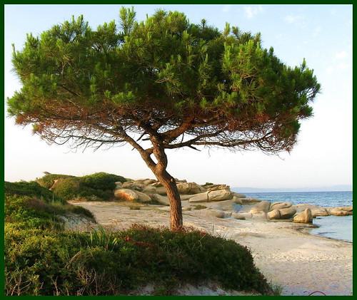 Pine by kontinova2 OFF