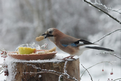 vogel_winter_eten_420