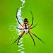 Spider (Bayou Sauvage National Wildlife Refuge)