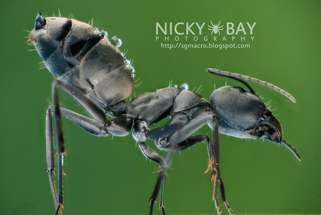 Ant (Formicidae) - DSC_4026