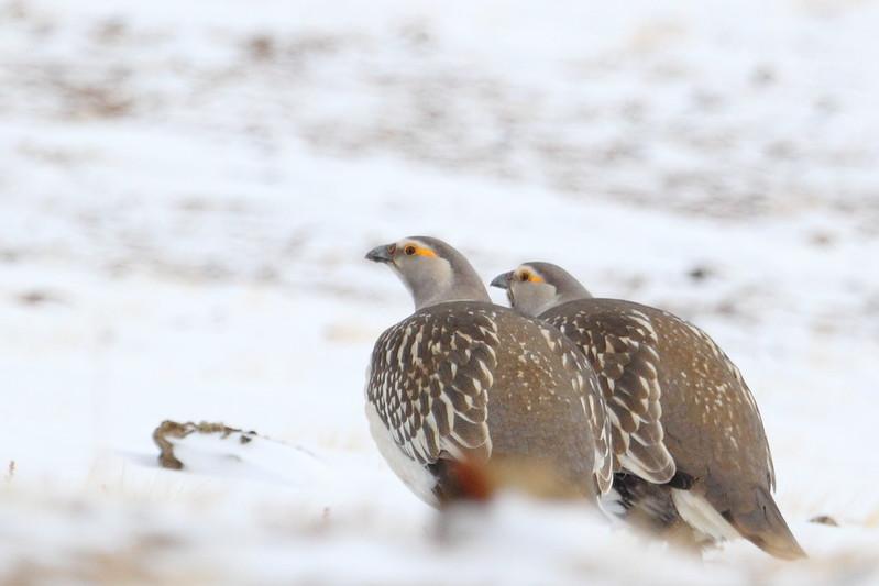 Two cute snowcocks