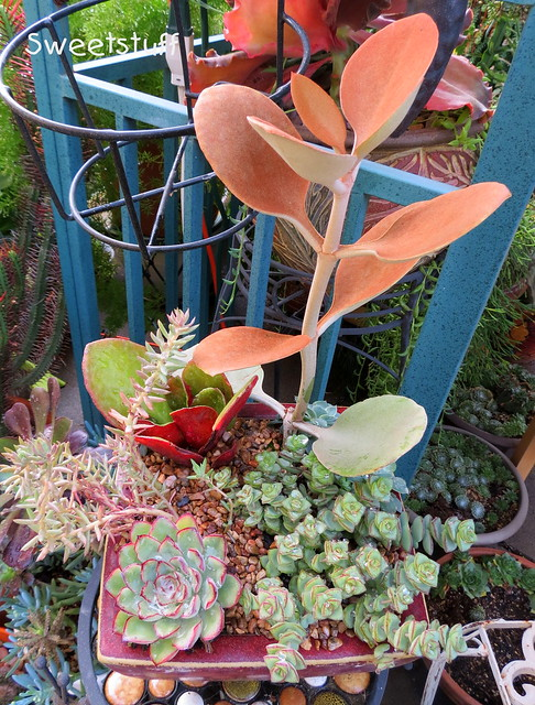 Kalanchoe orgyalis 'Copper Spoons', crassula commutata and friends