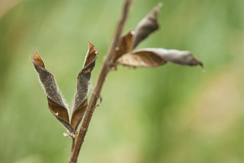 Spiral seed heads 1