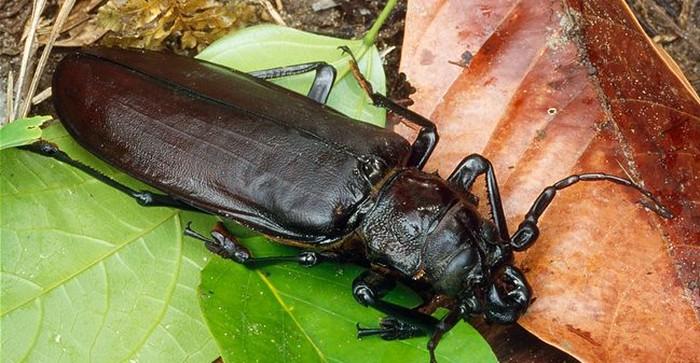 дровосек фото жук