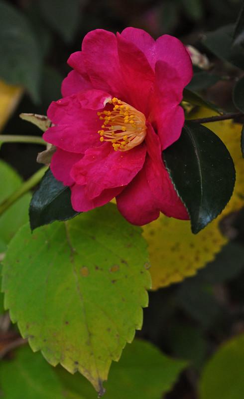 Camellia sasanqua 'Kanjiro' (3)