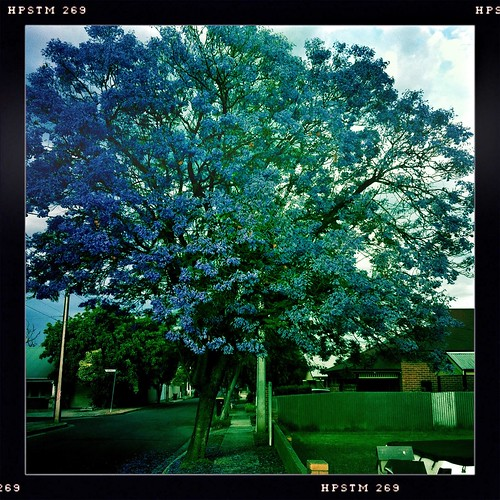 Jacaranda time of year. Day 330/366.