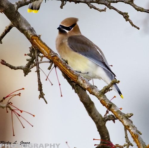 Cidar Waxwing in Grant Park by Ricky L. Jones Photography