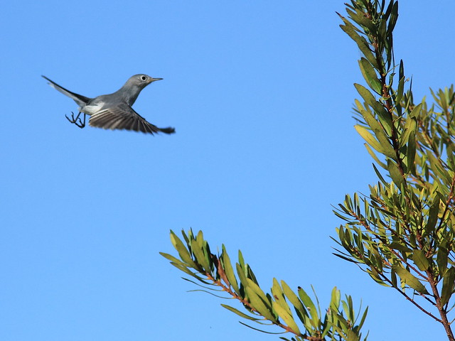 Blue-gray Gnatcatcher 20121201