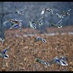 Mallard+Ducks