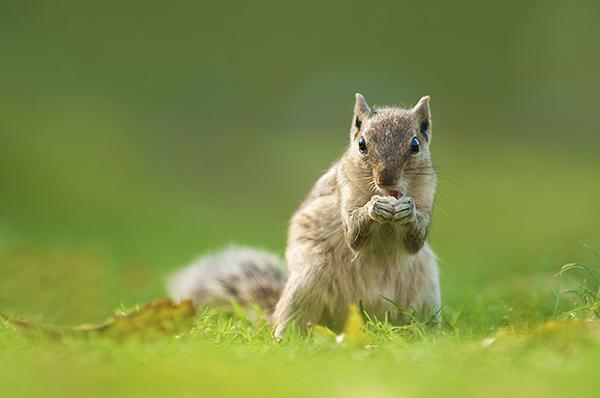Squirrel feeding by Wong Yu Liang, Malaysia