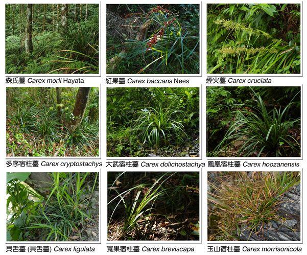 臺灣產9種薹屬植物;圖片提供:觀察家生態顧問公司