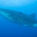 Whale Shark - Photo (c) Mark Rosenstein, all rights reserved