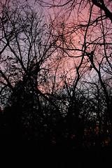 Sunset through a veil of limbs