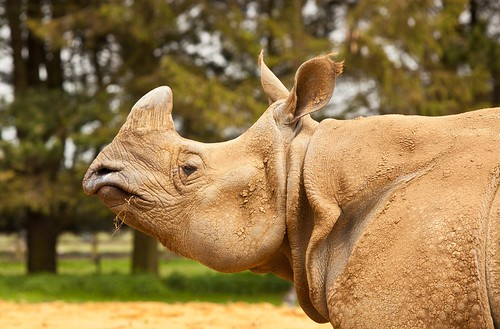Portrait of a Rhino - capturing an animal in its noblest pose...