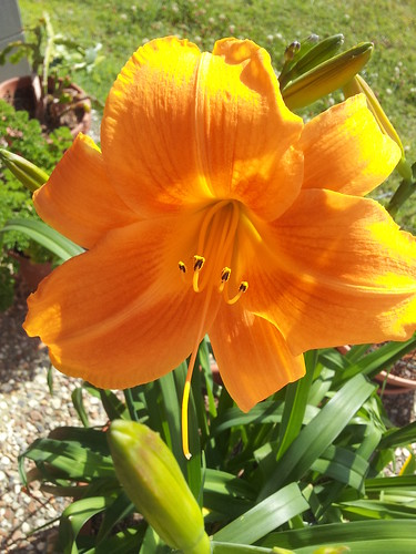 Auntie Kay's Day Lily