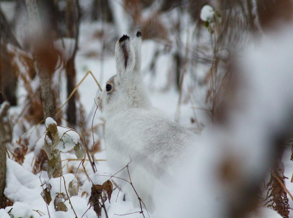 Заяц-беляк (Lepus timidus). Автор фото:Татьяна Бульонкова