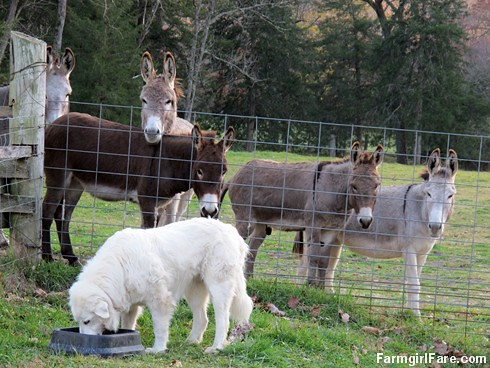 Dinnertime for Daisy, with donkeys (5) - FarmgirlFare.com