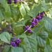 Small photo of American Beauty Berries 2 - Purtis Creek