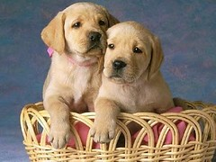 dog breed, labrador retriever, animal, puppy, dog, pet, mammal, puppy love, golden retriever,