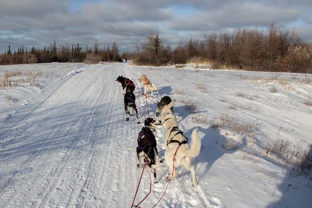 Dog Sledding in Churchill