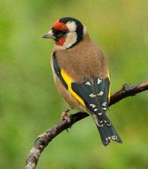 Canon EOS 60D.Canon 70-300mm Lens.Goldfinch In A Dark And Wet Hazel Screen.November 14th 2012.