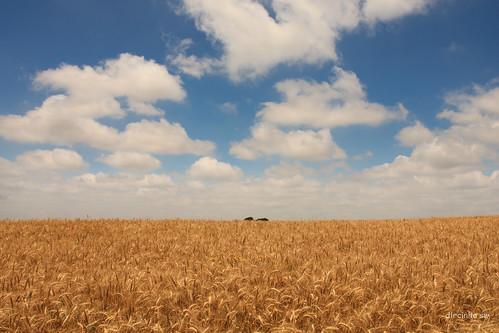 brazil brasil wheat dia céu nublado riograndedosul trigo agricultura cloudyday gtyok