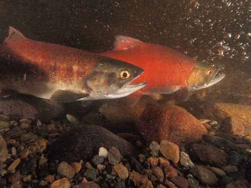 Kokanee Restoration & Romance 3 | by USFWS Pacific