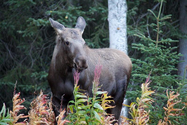 Alaskan Wildlife 19