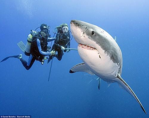 不危險:這個微笑刺客似乎有比在牠左邊的潛水員,更吸引牠注意的東西。