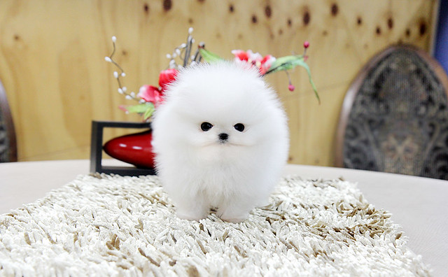 Top quality teacup pomeranian puppy | Flickr - Photo Sharing!
