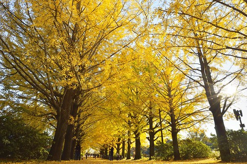 Ginkgo tree-lined