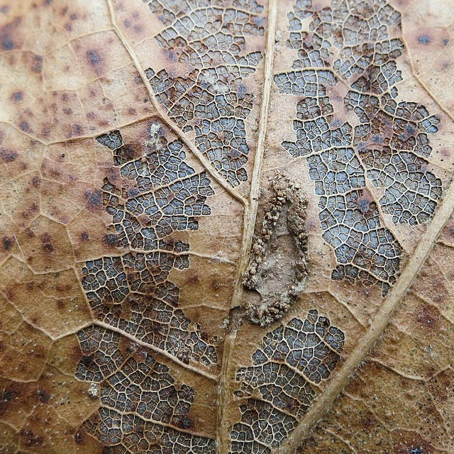 Oak leaf with disease
