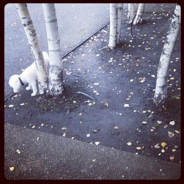 Birch Poodle