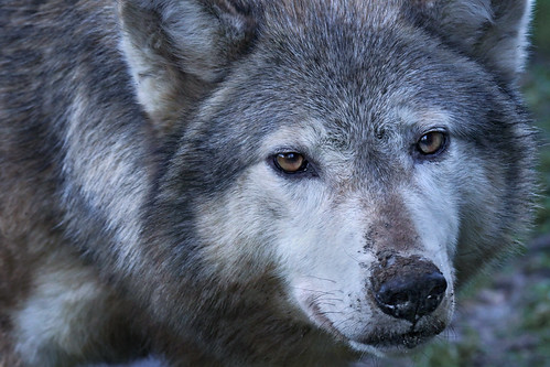 timber wolf - close-up - november 2012 by tom saunders (uk)1