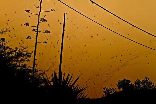 spiders spiderweb caboverde capeverde aranhas capvert assomada ilhadesantiago