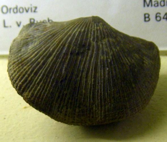 Hebertella occidentalis 8241420569_8f0db51ef8_o