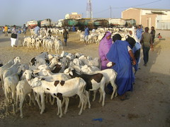 cattle-like mammal, mammal, goats, herd, herding,