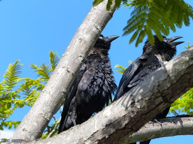 Crows at South Bank (II)