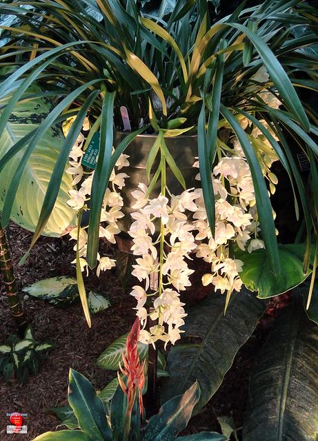 Orchids - Cymbidium Sarah Jean 'Ice Cascade' - Orchidaceae SC20121208 115