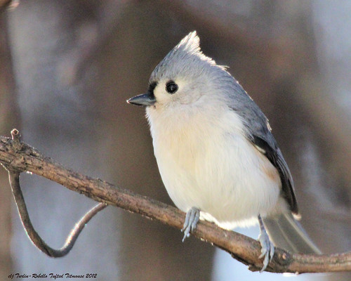 Tufted Titmouse by Cheryl Turlin
