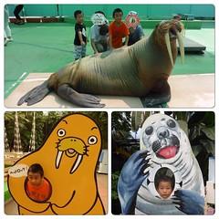 セイウチのひまわりちゃんでかい 大きな海獣と小さな怪獣(息子達) #伊勢シーパラダイス #小さなかいじゅう #m78 #息子