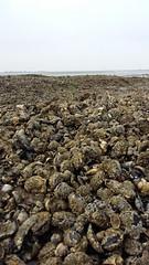 Plenty mussels on the bank, Wierummerwad